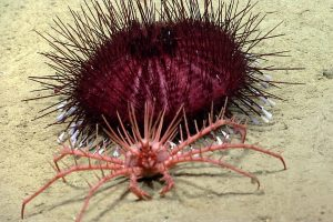 Lithodid king crab finds a spiky urchin. Credit: NOAA OER