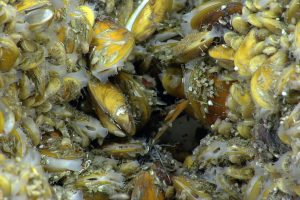 Chemosynthetic mussels. Credit: NOAA OER