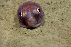 Bobtail squid. Credit: NOAA OER